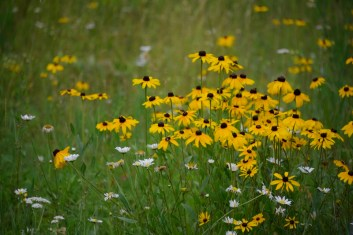 black-eyed susan (800x534)