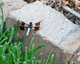 common whitetailed dragonfly 1000 069
