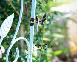 common whitetailed dragonfly 1000 070