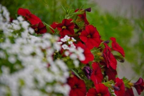 red petunias (800x534)