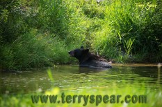 Holly black bear in water 1000 Minnesota 1659