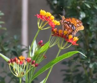 frittelary butterfly 1900 027