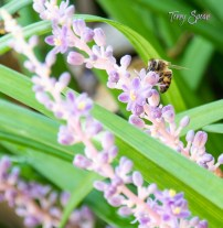 honeybee on liriope 1000 106