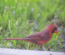 male cardinal 1000 034