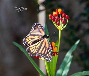 monarch butterfly and milkweed 1000 071