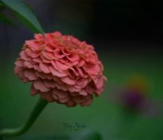peach zinnia 1000 048