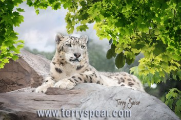 snow leopard 1000 Minnesota removing fence new copy1 3422