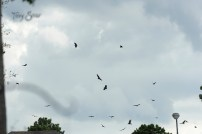 turkey vultures flocking 1000 065