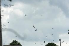 turkey vultures flocking 1000 065