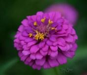violet zinnia 1000 054