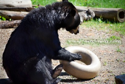 Holly Black bear and inner tube of food 1000 Minnesota 2642
