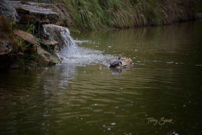 turtle below waterfall 1000 056