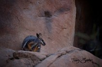 Wallaby 1000 763