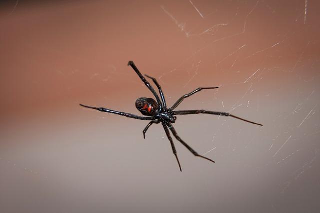 black-widow-spider-2042047_640