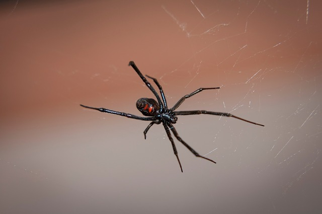 black-widow-spider-2042047_640