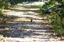 forest preserve robin 1000 1392