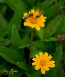 2 bumblebees on a yelloiw flower 1000 070