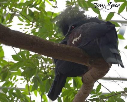 black plumed bird red eyes in tree 1000 097