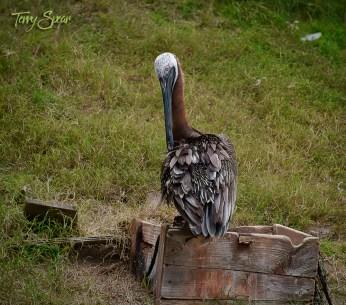 brown pelican 1000