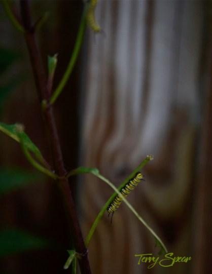 caterpillars in stasis no more leaves 1000 019