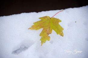 maple leaf on snow 1000 1173