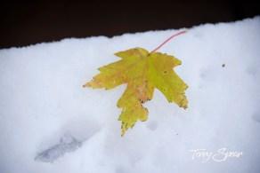 maple leaf on snow 1000 1173