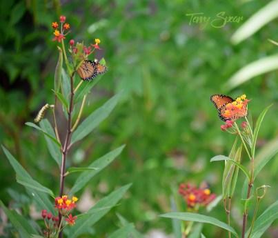 monarch caterpillar and butterflies 1000 008