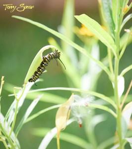 monarch caterpillars 1000 001