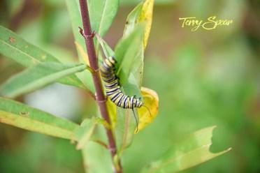 monarch caterpillars 1000 028
