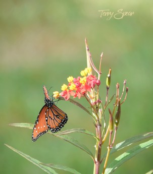 monarch on milkweed 1000 017