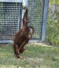 orangutan baby 1000