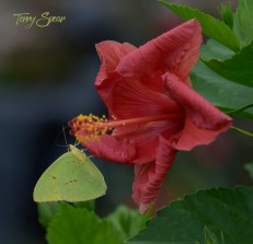 pale yellow clouded butterfly on tropical hibiscus 1000 086