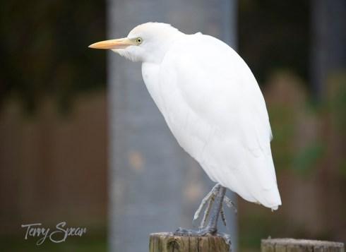 white bird 1000