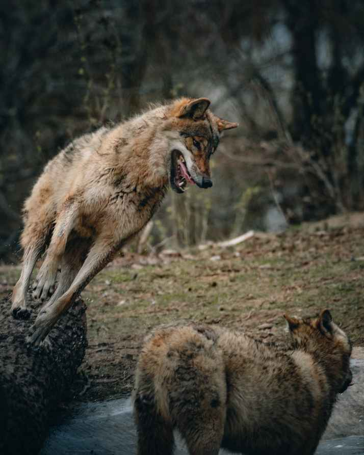 wolf grinning while attacking wolf in forest
