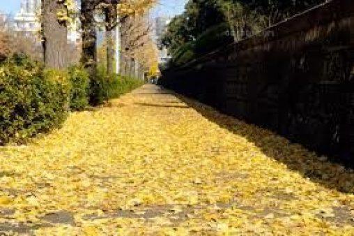 都会の落ち葉はアスファルトにたまりゴミになる
