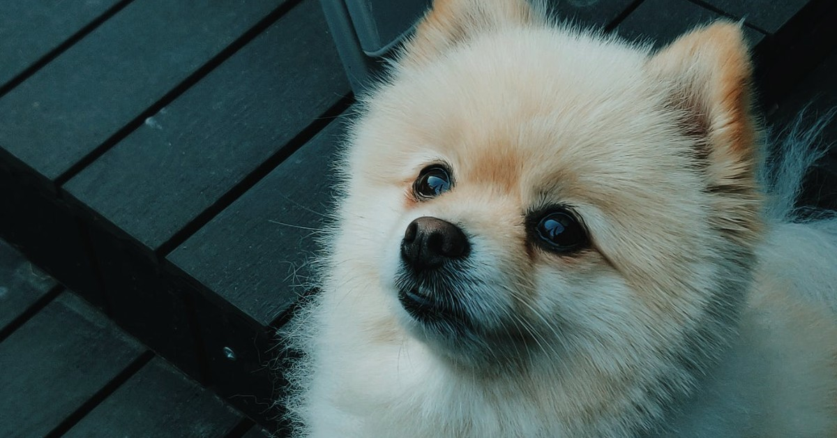 A close up of a cute Pomeranian tilting his head and looking upwards