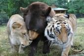 Ariu, tigri dhe luani jetojnë si vëllezër për 15 vite (foto)