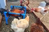Interesante, prodhohen karrige me rrota për pulat e gjelat që nuk ecin dot