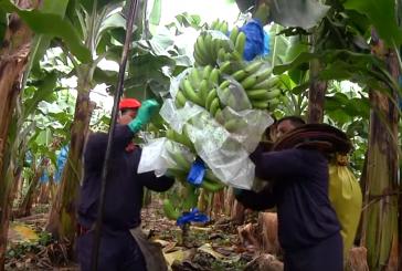 Nga pema në shtëpitë tuaja, ja se si prodhohen bananet