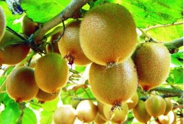 Kivi shqiptar, risia e kultivimit të pemës së milionerëve