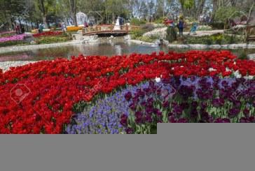 Të gjithë mendojnë se është nga Holanda, por tulipani vjen nga oborret e Sulltanit