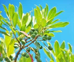 Magical Metaphysical Healing Properties of Trees - Privet