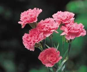 Love Magic Spells Rituals Flowers Carnation