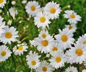 Love Magic Spells Rituals Flowers Daisy