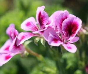 Rose Geranium Spells Rituals Protection Magick