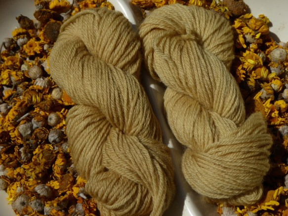 A picture of 2 skeins of yarn dyed with Dyer's Camomile photographed against a background of semi dried Dyer's Camomile flowers