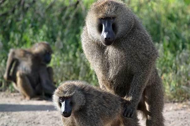 Fotoreise_Fotosafari_Fotoworkshop_Benny-Rebel_Afrika_Tansania_013_Pavian