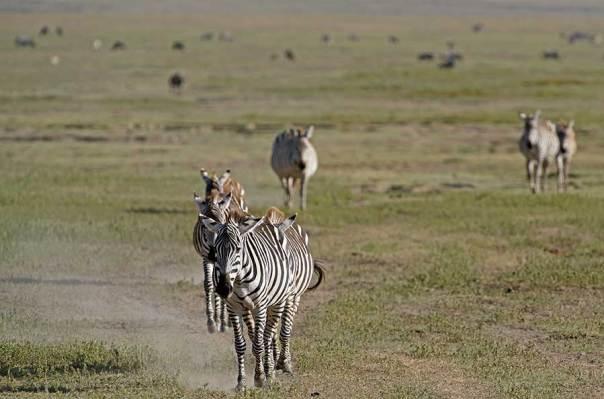 Fotoreise_Fotosafari_Fotoworkshop_Benny-Rebel_Afrika_Tansania_016_Zebra