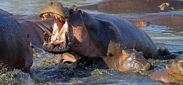 Fotoreise_Fotosafari_Fotoworkshop_Benny-Rebel_Afrika_Tansania_042_Flusspferd