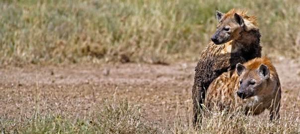 Fotoreise_Fotosafari_Fotoworkshop_Benny-Rebel_Afrika_Tansania_050_Hyaene